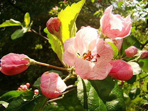 prairie-crab-apple-malus-ioensis-fragrant-flowering-small-tree-hardy-rare-fruit-tree