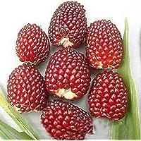 AGROBITS Fd949 raras semillas de maíz sabrosas verduras de la herencia de semillas de palomitas de maíz no modificado genéticamente Orgánica 10P