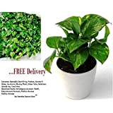 Vamsha Nature Care Air Purifying Live Money Plant