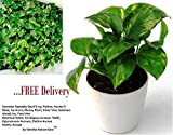 #2: Live Money Plant Best Indoor Air Purifying Plants Vastu and Feng Shui