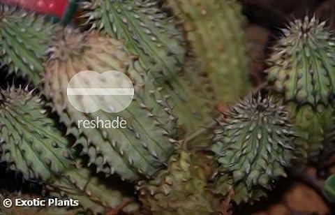 Hoodia gordonii - Ascleps - Stapelia - 5 graines