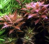 Meerjungfrauenpflanze / Proserpinaca palustris Cuba