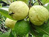 #2: Azalea Garden Dwarf White Indonesian Seedless Guava Psidium Guajava, 1 Healthy Live Plant