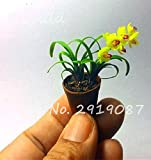 50 Stück Mini Bonsai Orchideensamen Innen Zuhause Miniatur-Blumen-Pflanzen-Topf Samen Garten Diy Anlage Seltene Blumen-Geschenk-5