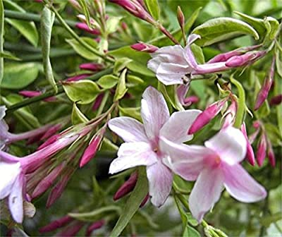 Jasminum beesianum Echter Jasmin stark duftend von Baumschule Pflanzenvielfalt bei Du und dein Garten