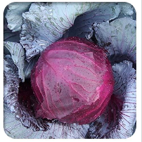 AGROBITS Chou brocoli Chou-fleur pourpre bonsaïs vert coeur de boeuf Plume Spore Chou bonsaïs: violet 10seeds Potted