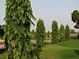 #1: Creative Farmer Tree Seeds False Ashoka Native To India Garden Seeds Kitchen Garden Seeds Pack