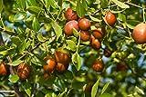 Heiße verkaufen10pcs / lot große chinesische Winter-Jujube Samen Honig süßen Termine Samen Obstbaum Bonsai Pflanze DIY Hausgarten sementes