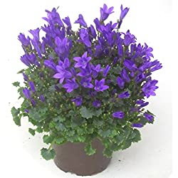 Campanula portenschlagiana - Dalmatiner Glockenblume blau, Polster-Staude, blühend, winterhart, wintergrün,als Balkonpflanze, Bodendecker, Steingarten- und Beet-Pflanze,sogar als Zimmerpflanze