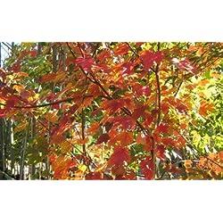 Rojo Arce - Acer Rubrum - 25 semillas