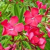#6: (RED) Nerium Oleander/Kaner flower live plant - 1 healthy live plant