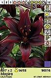 Lilium asiatic - Schwarze Asiatische Lilie Mapira 3 Blumenzwiebeln
