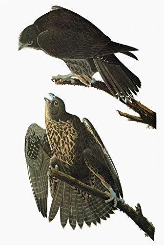 falco poster The Poster Corp Audubon: Gyrfalcon. /Nblack Or Labrador Gyrfalcon (Falco Rusticolus). Engraving After John James Audubon for His 'Birds of America ' 1827-38. Kunstdruck (45,72 x 60,96 cm)