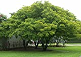Forest Seeds : Shade Tree For Garden Pongamia Pinnata Seeds - 50 seeds For Growing By Creative Farmer