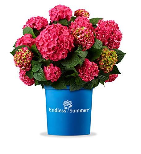 Endless Sommer 'Summer Love' Hortensie rot , einfach zum Verlieben schön , winterhart , mehrjährig , Pflanze für Garten, Terrasse, Balkon oder Kübel