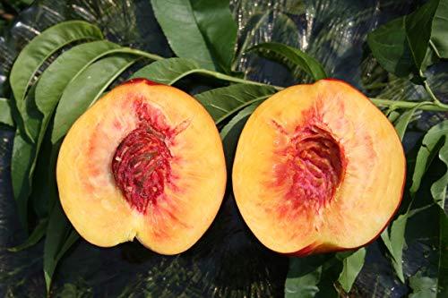 Säulennektarine Fruttini® Alicecol® - kräftige Pflanze im 10lt. Topf