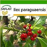 SAFLAX - Yerba mate - 10 graines - Avec substrat - Ilex paraguaensis