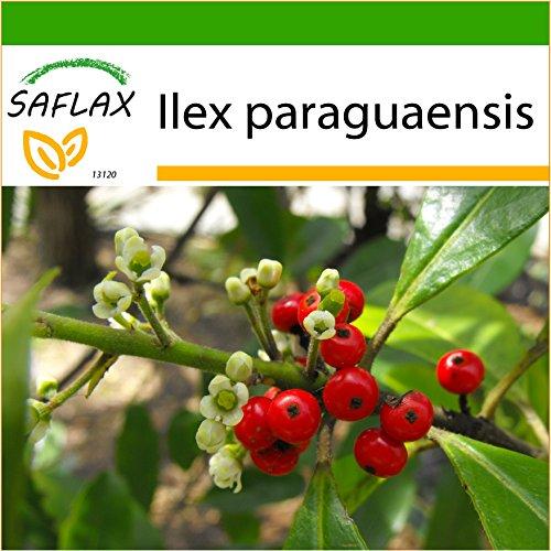 SAFLAX - Yerba mate - 10 semillas - Con sustrato - Ilex paraguaensis