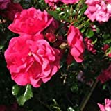 Heidetraum® ADR Rose Bodendeckerrose