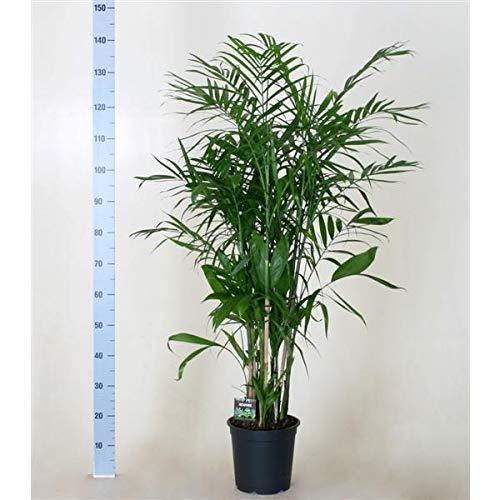 Chamaedorea seifrizii 150-160 cm Bambuspalme Zimmerpflanze