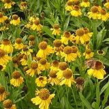 lichtnelke - Sonnenbraut ' THE BISHOP ' (Helenium bigelovii) gelb