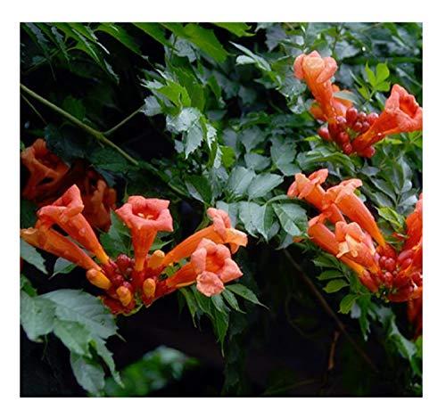 10 Campsis grandiflora China escalada trompeta semillas planta #132