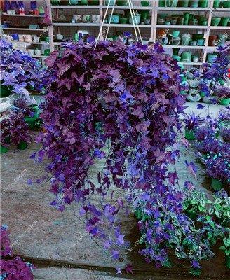 Multi Color Seed 100% Vrai Parthenocissus tricuspidata Seed, japonais Creeper Flowerpot semences, Paquet professionnel 20 Pcs / Sac 7