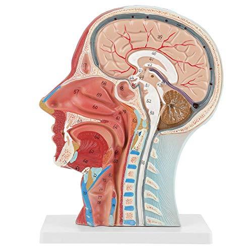 Anatomisches menschliches anatomisches halbes Kopf-und Gesichts-Anatomie-medizinisches Gehirn-Hals-Mittelteil-Studienmodell -