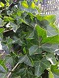 PLAT FIRM GERMINATIONSAMEN: 10#IVY Stecklinge Efeu Evergreen * nackte Wurzel * Zimmerpflanze Efeu Reben