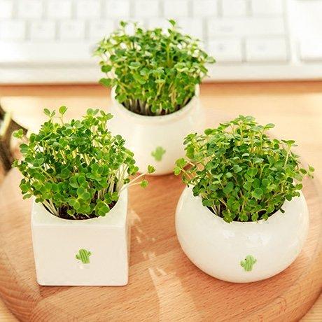 New Courtyard Bonsai Seeds with Ceramic Vase Easy Plant Herbs Garden Grass Seed Kawaii Bonsai Seeds Home Decor White Flowerpot