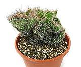 PIANTE GRASSE VERE RARE Cereus Serpentinus Crestato Produzione Viggiano Cactus
