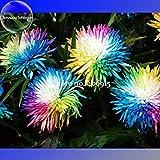 Niedliche Regenbogen-Chrysantheme Livingstone China Aster Samen, 100 Samen, Gartenpflanze Blumen E3560