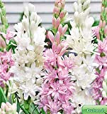 Adolenb Seeds House- Tubérose de parfum rare, graines de fleurs, graines vivaces, vivaces, perle vivace et saphir rose/lis Polianthes pour le balcon, jardin