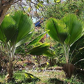 vistaric 1 pz sago palm tree semi cycas revoluta tropicale facile da coltivare cycad semi di albero bonsai per la casa giardino semi di bonsai
