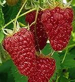 Blumen-Senf Himbeere - Rubus idaeus Malling Promise - ertragreiche Gartenhimbeere