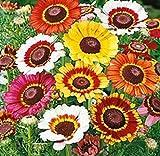 TOMASA Seedhouse- 100 pezzi di copertura del suolo africano anello cestino, hardy semi di fiori perenni semi esotici semi ape-friendly fiori per balcone, giardino