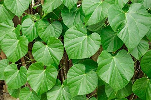 Seedlings india Giloy Herbal & Medicinal live plant