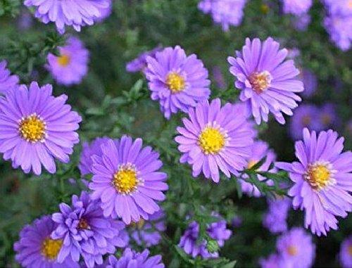100pcs / sac couvre-sol graines de chrysanthèmes, graines de fleurs vivaces bonsaïs chrysanthème plante en pot marguerite pour le jardin à la maison 13