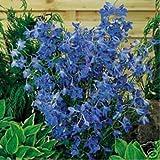 Delphinium/Rittersporn - Butterfly Blue- 50 Samen