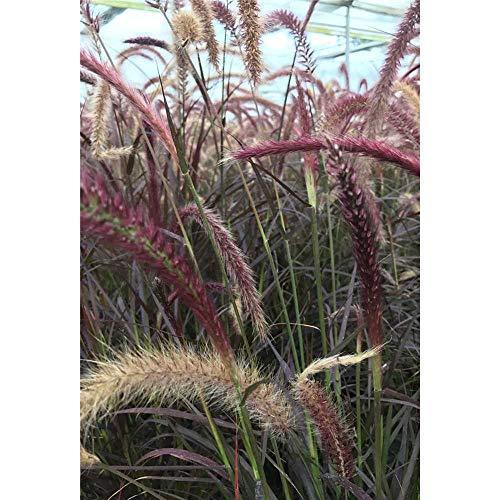 Pennisetum setaceum 'Rubrum', rotes Lampenputzergras oder Federborstengras, im Topf 13 cm