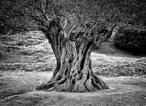 VLIES Fototapete-OLIVENBAUM-500x280 cm-10 Bahnen-(221577)-Inkl. Kleister-EASYINSTALL-PREMIUM-S/W Bäume Baum Wald Wand-Dekoration Moderne Motiv-Tapete Bild Design Panorama Natur Landschaft Poster