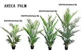 """40-45 cm""""Areca Butterfly Palm Dypsis Lutescens"""" Tree"""
