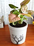 #3: Rolling Nature Good Luck Pink Syngonium Plant in White Jar Aroez Ceramic Pot