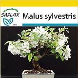 SAFLAX - Anzucht Set - Bonsai - Europäischer Wildapfel - 30 Samen - Malus sylvestris