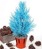 IDEA HIGH Samen-Garten Topfpflanze 30 Stück seltene blaue Zypresse Bonsai-Baum, Bonsai für Blumentopf Pflanzgefäße: 3
