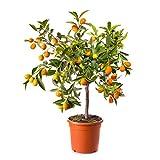 Doubleer Semi Organici Dell'interno 30Pcs Della Frutta di Limone Giallo All'aperto