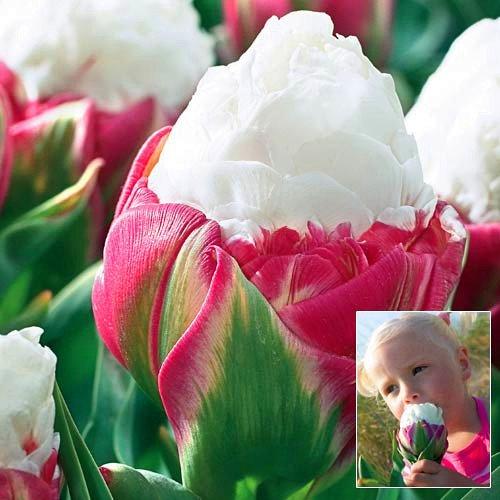 Toutes sortes de bulbes de tulipes belles fleurs de jardin sont appropriés pour les plantes en pot (il n'est pas une graine de tulipe) ampoules 2PC 7