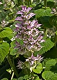 Salvia Moscatel - 30 Semillas