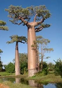 tropica baobab malgache adansonia grandidieri 4. Black Bedroom Furniture Sets. Home Design Ideas