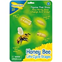 Insect Lore Bee Life Cycle Stages